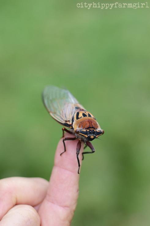 cicada- cityhippyfarmgirl