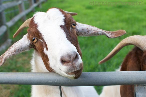 goat-cityhippyfarmgirl