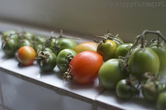 ripening tomatoes || cityhippyfarmgirl