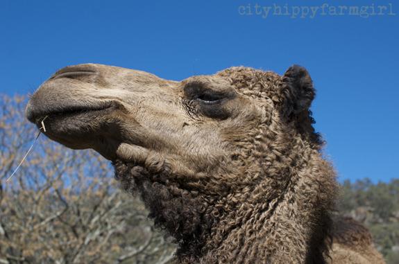 camel || cityhippyfarmgirl.com
