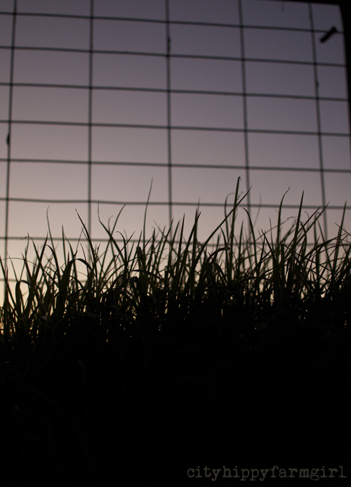 grass at dusk || cityhippyfarmgirl