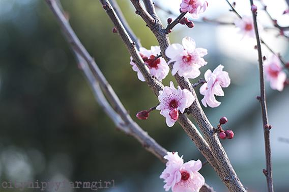blossom || cityhippyfarmgirl
