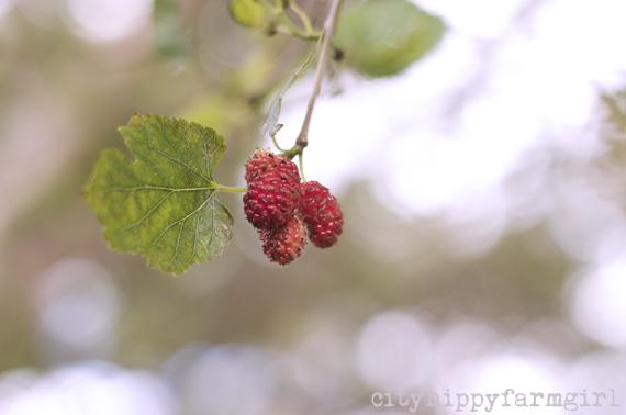mulberries || cityhippyfarmgirl