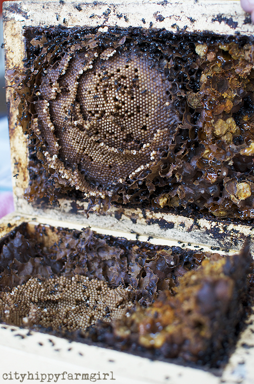 splitting a native bee hive || cityhippyfarmgirl