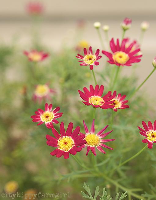 garden flowers || cityhippyfarmgirl