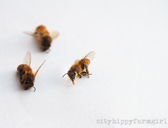 dead bees || cityhippyfarmgirl