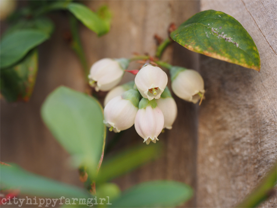 blueberry flower || cityhippyfarmgirl