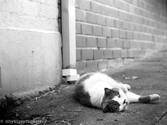 city cat    cityhippyfarmgirl