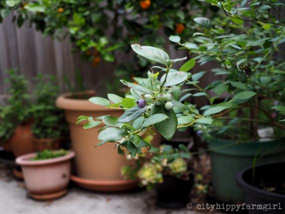 permaculture in pots || cityhippyfarmgirl