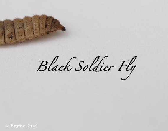 black soldier fly larvae || cityhippyfarmgirl