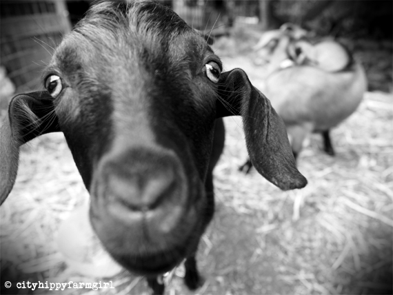 urban goats || cityhippyfarmgirl