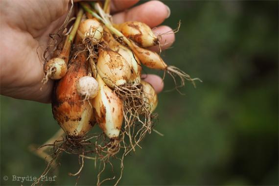 onions-brydie-piaf