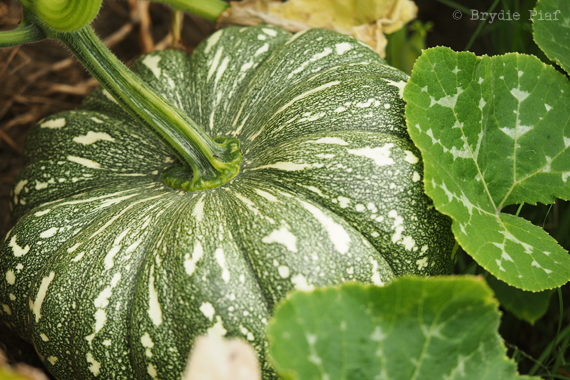pumpkin-10-brydie-piaf