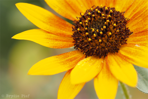 sunflower-cityhippyfarmgirl