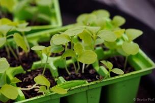 seedlings || cityhippyfarmgirl